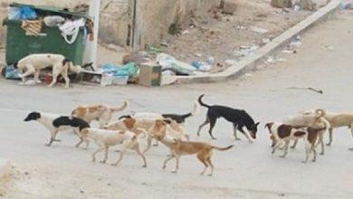 Photo of الكلاب تنتشر بشكل مخيف في العاصمة صنعاء ومقطع مرئي يوثق افتراسهم طفلة