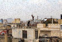 Photo of أسراب من الجراد تغطي سماء العاصمة صنعاء وعدد من المحافظات