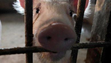 """Photo of الصين: سلالة """"جي4"""" من إنفلونزا الخنازير لا تصيب البشر بسهولة"""